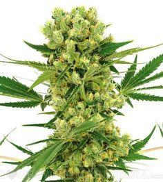 Amnesia Haze (fem) Marijuana Seeds