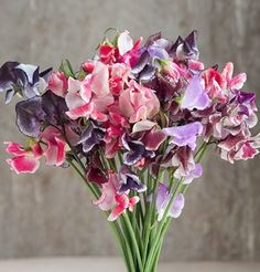 Flower Sweet Pea Spencer Ripple Formula Mix D1807 (Multi Colored) 50 Open Pollinated Seeds by David's Garden Seeds David's Garden Seeds http://www.amazon.com/dp/B015CYGVOM/ref=cm_sw_r_pi_dp_R.Rfwb19F3NTQ