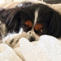 I decided to hibernate until further notice... Or until dinner is ready 😊👍 #cavclub #cavlife #ckcs #instadog #dogs_of_instagram #instagood #instagramdog #dog_features #puppy #cavalierkingcharlesspaniel #cavalierkingcharles #cavaliersofinstagram #tagsforlikes #dailydog #dailypuppy #dailyfluff #excellent_puppies #topdogphoto #bestwoof #bestpaw #bestfriend #bestoftheday #dog #dogs #doglife #doglover #dogstagram #dogoftheday #instafollow #cavsofinstagram @petbox @cavlife @dog_features…