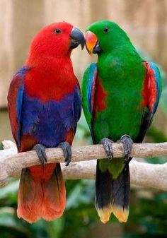 Eclectus Parrots (Males are green and females are red. Beautiful!)