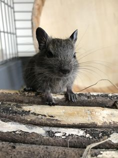 Things that make you go AWW! Like puppies, bunnies, babies, and so on. A place for really cute pictures and videos! Degu, Rodents, Hamsters, Gerbil, Cute Little Animals, Soft Grunge, My Princess, My Animal, Animals Beautiful