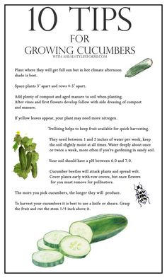 Follow these tips for cucumber growing success (and click here to find tips for tons of other veggies).