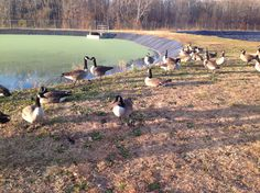 The wastewater geese :)