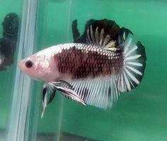 fwbettashmp1429844447 - SAMURAI SILVER BLACK HMPK Male