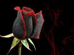 Fekete rózsa....gyönyörű