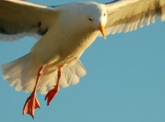 Sea gull flying  #bird #photography #beach