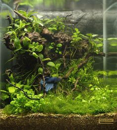 Betta Nano Cube with driftwood and live plants. Purchase driftwood for your aquarium at www.driftwoodboss.com