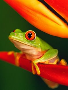 Red-eyed Tree Frog perched on a colorful Heliconia flower