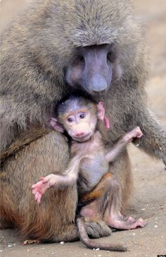 Mother baboon and baby.