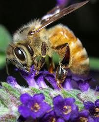 Honey Bee such a beautiful creature. Health Chart, Bee Pictures, Buzzers, Cool Insects, I Love Bees, Bees And Wasps, Bee Pollen, Beautiful Bugs, Honey Bees