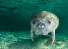 American/West Indian manatee