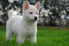 The Korean Jindo is one of the most popular dog breeds to come from Korea. In more recent times, it has managed to make its way to the west, where its Cute Puppies, Dogs And Puppies, Cute Dogs, Doggies, Animals And Pets, Baby Animals, Cute Animals, Puppy Care, Pet Puppy