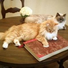 Leo and Levi is an adoptable Ragdoll Cat in Ennis, TX. Leo and Levi are Ragdoll mix brothers who must be adopted together. Leo is a gorgeous Red and White Ragdoll/Ragamuffin mix, Levi is a fabulous Bl...