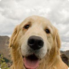 golden retriver - Amo il mio cane ;) Il mio cane è il mio compagno di lunghe passeggiate,sport e tempo libero ;)