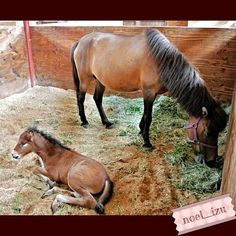 2週間前に生まれた与那国馬の仔 名前募集中/伊豆ホース・カントリー #horse #yonaguni_uma #izu #japan - @noel_izu- #webstagram
