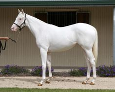 W12 is found in Thoroughbreds, and is a deletion mutation found on Exon3. Some say that the founder is deceased, possibly by lethal mutation.  The one in the photo is a non specified white mutation thoroughbred, http://myhorseforum.com/threads/dominant-white.528531/page-4