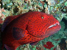 #red #coral #grouper