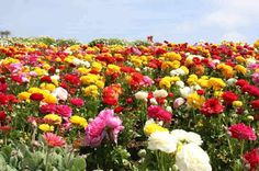 Đi Du Lịch: Những cánh đồng hoa đẹp ngất ngây khắp thế giới