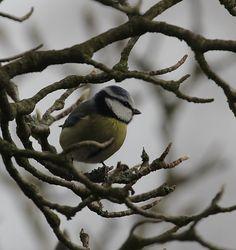 Meise Bird in Winter - 1