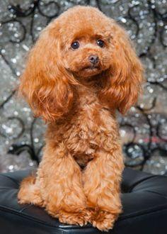 Gorgeous Poodle Pup ♥