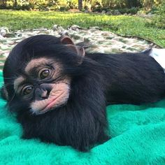 Chimpanzee baby Schimpansenbaby No related posts. Baby Animals Pictures, Cute Animal Pictures, Animals And Pets, Wild Animals, Strange Animals, Cute Little Animals, Cute Funny Animals, Cute Baby Monkey, Chimpanzee