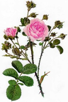 Picturing Plants and Flowers: Alfred Parsons: Rosa centifolia 'Cristata'