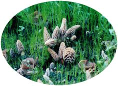 Grow Your Own Morel Mushrooms Kit!!