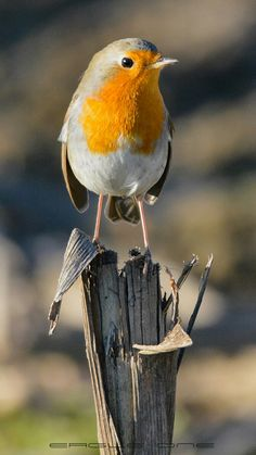 Kinds Of Birds, All Birds, Little Birds, Pretty Birds, Beautiful Birds, Robin Redbreast, Robin Bird, Crazy Bird, Animal Projects