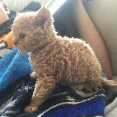 Ist es ein Pudel? Ist es ein Schaf? Nein! Es ist ein Kätzchen mit Locken - und es hat unsere Herzen erobert.