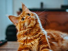 MeowTalk works similarly to voice recognition software. Except that here, the app is trying to recognize the sound fo a cat and then attempt to identify its meaning. Orange Kittens, Cats And Kittens, Orange Maine Coon, Cute Cats Photos, Maine Coon Kittens, Cat Character, Curious Cat, Cattery, Ginger Cats