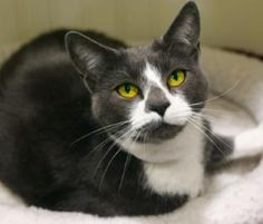 Rex is a beautiful blue/white domestic short hair, who's young at just 1 year old. This spunky gal has tons of personality and lots of love to give. She enjoys making new friends, but can take a little extra time to adjust to new surroundings.