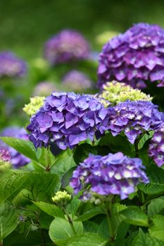 Purple Hydrangea wedding flower bouquet... Thoughts?