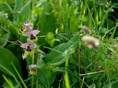 Ophrys tenthredinifera. Madonie mountains, Sicily http://homemadesicily.com/en/activities/wild-orchids-itinerary/