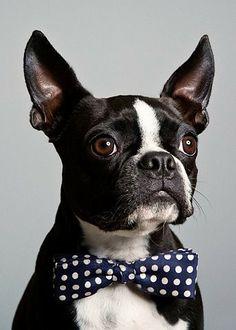 boston terrier in a bowtie