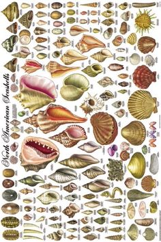 North American Seashells poster depicting 140 types of shells. Vintage