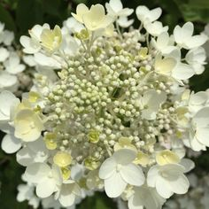 Vanilla Strawberry™ Hydrangea is tough to beat this time of year. Happy weekend gardening! #VanillaStrawberryHydrangea #Hydrangea #Garden #Gardening #Flower #Summer #Fall #Beauty #Beautiful #Color #White #FirstEditions