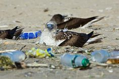 Blue Footed Bobby with Plastic Waste in Peru Photographer: Robert Marc Lehmann / Greenpeace