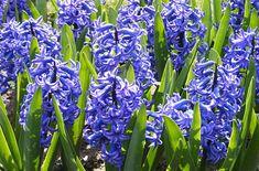 Hyacinthus orientalis 'Ostara'  Hyacinth 'Ostara'
