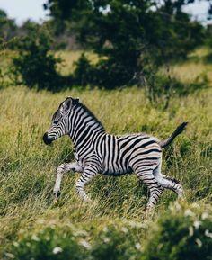 350 Zebra Ideas Zebra Zebras Zorse