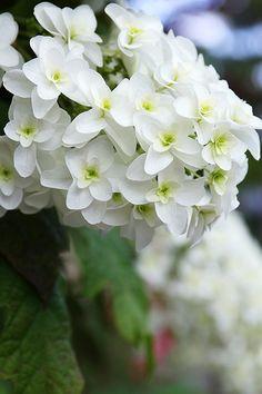 Hydrangea 'Snowflake'
