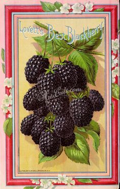 Lovett's Best Blackberry - Lovett's Guide to Horticulture' - Spring - J. Lovett Co. Little Silver. Department of Agriculture, National Agricultural Library by clarissa Fruit And Veg, Fruits And Vegetables, Fresh Fruit, Best Blackberry, Etiquette Vintage, Vintage Seed Packets, Seed Packaging, Vintage Gardening, Seed Catalogs