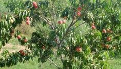 How to Prune Fruit Trees Prune Fruit, Pruning Fruit Trees, Tree Pruning, Trees To Plant, Fruit Plants, Fruit Garden, Garden Plants, Peach Tree Care, Growing Peach Trees