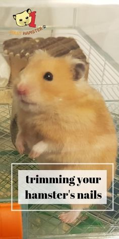 Some hamsters do get overgrown nails, and it's necessary to keep them trimmed to avoid injury to you or to the hamster. Here's how to trim them. Dwarf Hamster Toys, Robo Dwarf Hamsters, Diy Hamster Toys, Robo Hamster, Hamster Life, Hamster Habitat, Hamster House, Cute Hamsters, Hamster Ideas