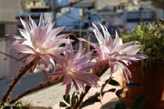 Night-blooming cactus  -Nouli's Place- Cactus, Bloom, Night, Places, Lugares