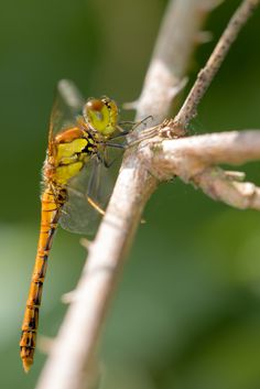 Common Darter by Des Daly - Chronicles of a Love Affair with Nature