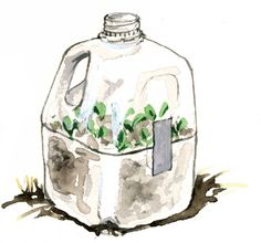 Milk Jug Seed Starters—Use this simple method to start seeds without indoor lights.