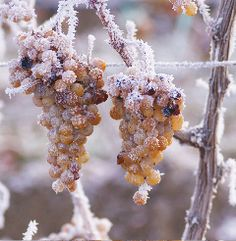 *Frozen Grapes for Ice Wine - Kiona Vineyards Grapes And Cheese, Frozen Grapes, Wine Vineyards, Organic Wine, Healthy Vegan Snacks, Wine Guide, Wine Refrigerator, In Vino Veritas, Italian Wine