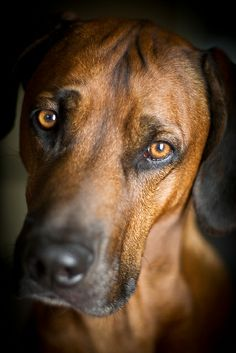 Hound eyes by BambaataaRR, via Flickr.....looks SO MUCH like my tinker