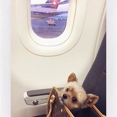 #Repost @thor.the.yorkie  my first international vacation was amazing! saw so many great sights and made my mark everywhere. but now i can't wait to get back home to my own bed.