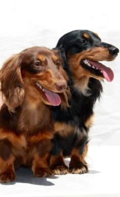 Long Haired Dachshunds